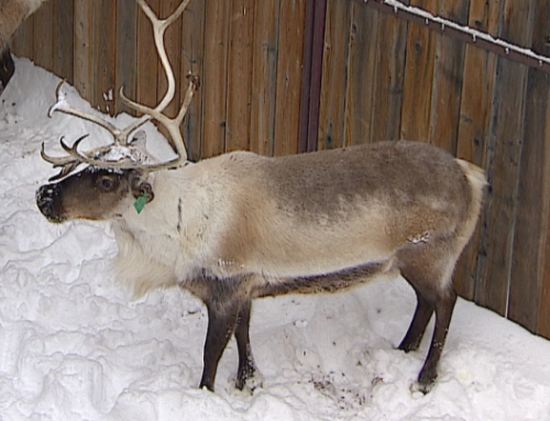 Reindeer Antlers' amazing skin regeneration may someday help heal human injuries